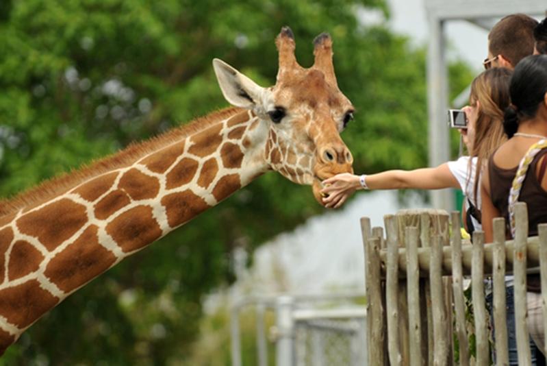 People feeding giraffe.